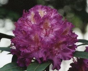Rhodo 'Alfred' Rhododendron 40-50cm In Pot