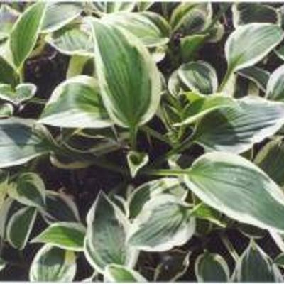 6 x Hosta 'patriot' - Hartlelie Pot 9x9cm