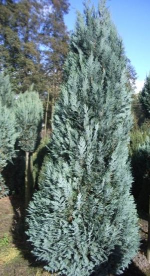 CHAMAECYPARIS LAWSONIANA 'ALUMII' - Californische cypres 80-100cm kluit