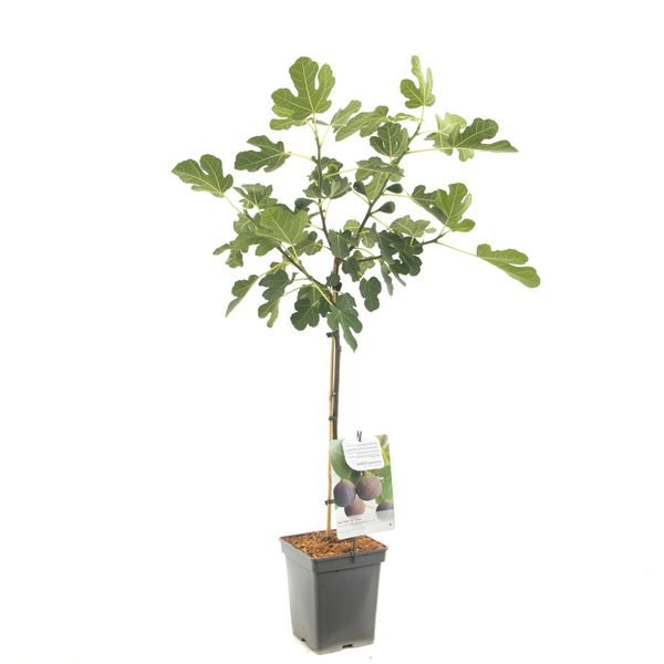 Fruithof Ficus Car. Brown Turkey Op Stam 60