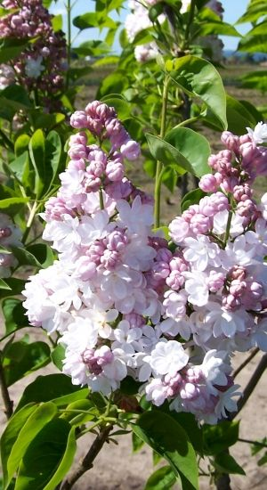 Syringa Vulgaris 'belle De Nancy' - Sering 40-60 Cm In Pot