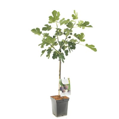 Foto 1 Fruithof Ficus Car. Brown Turkey Op Stam 60