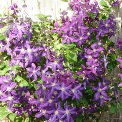 Clematis 'polish Spirit' - Bosrank 50-60 Cm In Pot