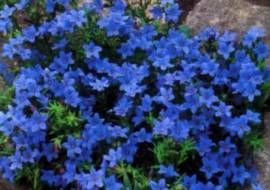 6 x Lithodora diffusa 'Heavenly Blue' - Steenzaad Pot 9x9cm