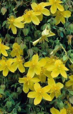 Hypericum Densiflorum 'Buttercup' - Hertshooi 30-40 Cm In Pot