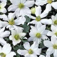Clematis 'Early Sensation' - Bosrank 50-60 Cm In Pot