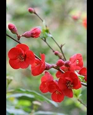 Chaenomeles Superba 'fire Dance' - Dwergkwee 30-40 Cm In Pot