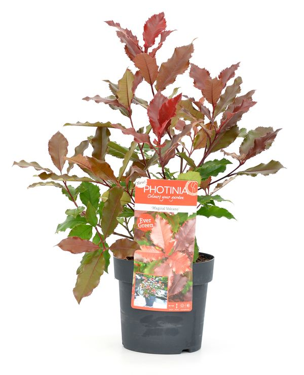 Photinia 'Magical Vulcano'