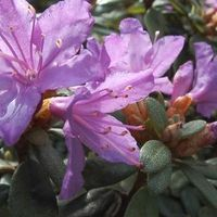 Rhodo 'Blue Tit' Rhododendron 20-30c