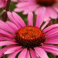 3 x Echinacea Purpurea Fatal Attraction® - Zonnehoed Pot 9x9 Cm