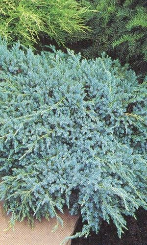 Juniperus Squamata 'Blue Carpet' - Jeneverbes 25-30 Cm In Pot