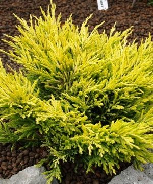 Juniperus Horizontalis 'Limeglow' - Jeneverbes 20-25 Cm In Pot
