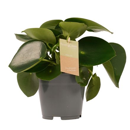Decorum Peperomia Raindrop Feel Green