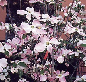 Cornus florida 'Rubra' - Kornoelje 50-60 cm in pot