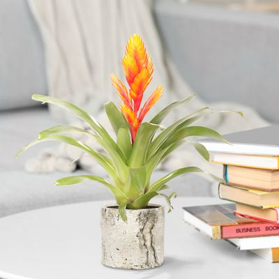 Bromelia Specialist Vriesea Intenso Orange Double - 2 stuks