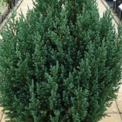 Juniperus Chinensis 'stricta' - Jeneverbes 30-40cm In Pot
