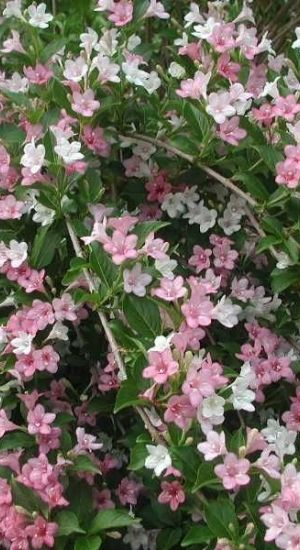 Weigela Carnaval ('Courtalor') - Weigelia 50-60 Cm In Pot