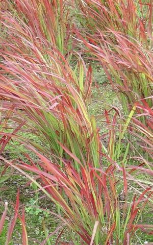 Imperata cylindrica 'Red Baron' - Japans Bloedgras - P9