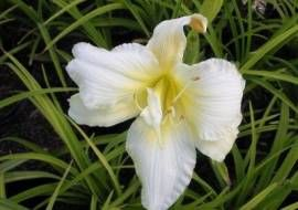 6 x Hemerocallis 'gentle Shepherd' - Daglelie Pot 9x9cm