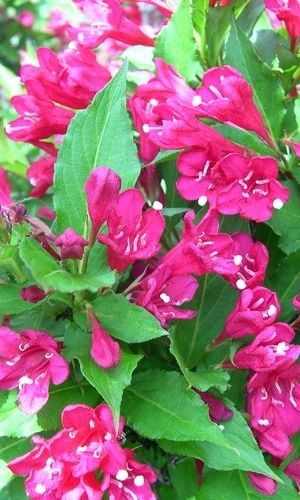 Weigela 'Red Prince' - Weigelia 50-60 Cm In Pot