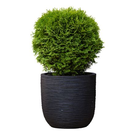 Plantenmatch Westerse Levensboom (Incl. Capi Pot) - Thuja Occidentalis Danica