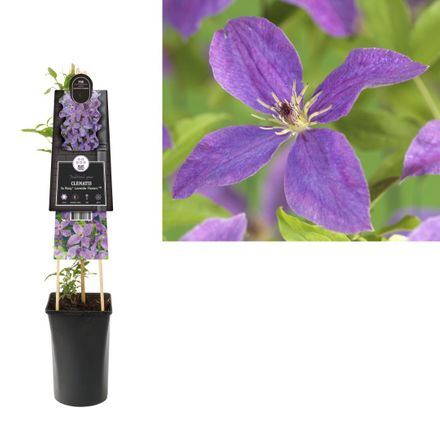 Klimplant Clematis So Many Lavender Flowers Pbr 75 Cm