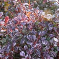 Berberis Dart's 'Harlequin' - Zuurbes 30-40 Cm In Pot