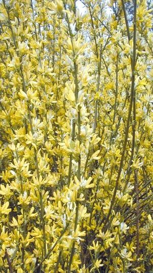 Cytisus 'goldfinch' - Brem  40-60 Cm In Pot