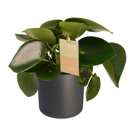 Decorum Peperomia Raindrop Feel Green - Elho b.for antracite