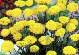6 x Achillea filipendulina 'Cloth Of Gold' - Duizendblad Pot 9x9 cm