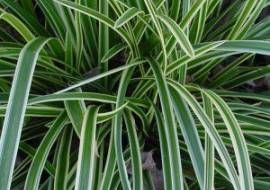 6 X Carex Morrowii 'Ice Dance' - Zegge Pot 9x9cm