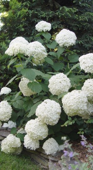 Hydrangea 'Incrediball' - Strong - Hortensia 40-50c