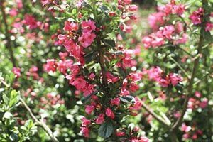 Escallonia 'Donard Seedling' - Escallonia 40-50 Cm In Pot