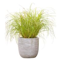 Plantenmatch Prachtriet (Incl. Capi Pot) - Miscanthus Silberspinne