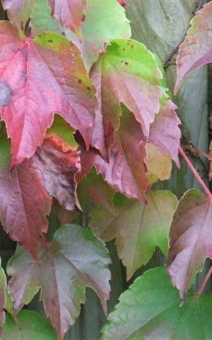 Parthenocissus tricuspidata 'veitchii' - Wilde Wingerd - 60-80 Cm In Pot