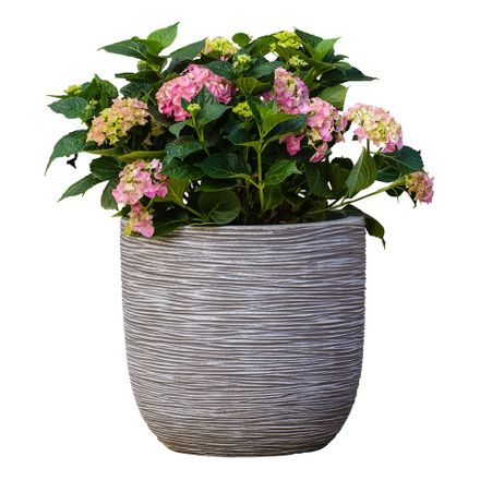 Hortensia (Incl. Capi Pot) - Hydrangea Macrophylla Bouquet Rose