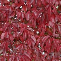 Parthenocissus Quinquefolia - Wilde Wingerd 50-60 Cm In Pot