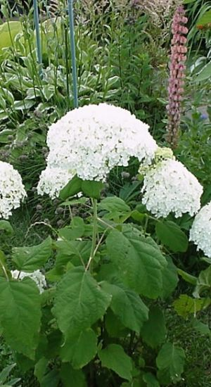 Hydrangea 'Hill Of Snow' Hortensia
