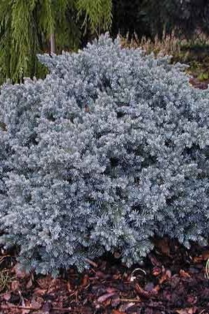 Juniperus Squamata 'Blue Star' - Jeneverbes 15-20 Cm In Pot