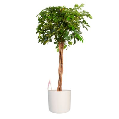 Fachjan Vingersboom in ® ELHO b.for soft sierpot wit