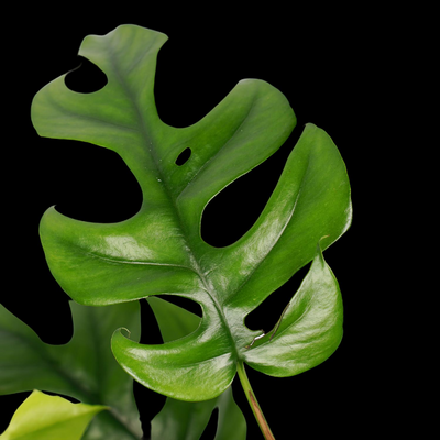 Foto 1 Philodendron Trophy