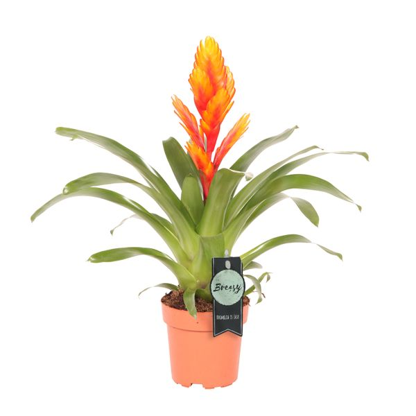 Bromelia Specialist Vriesea Intenso Orange Single