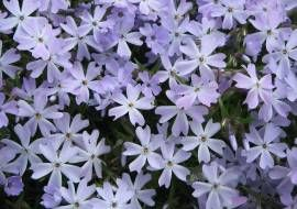 6 x Phlox 'Emerald Cushion Blue' - Vlambloem Pot 9x9cm