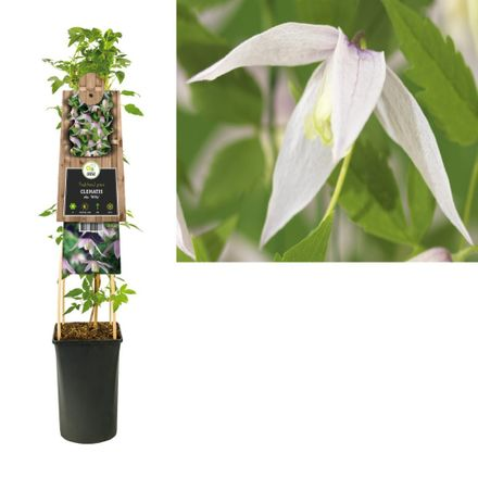 Klimplant Clematis Alp. Willy 75 Cm