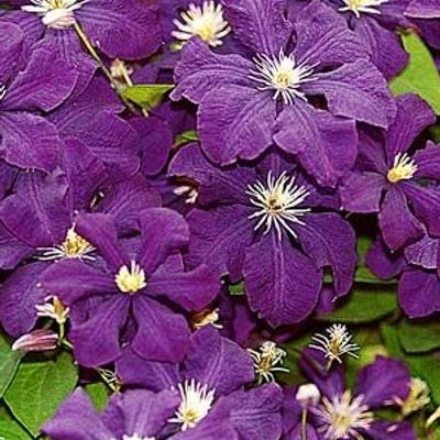 Clematis 'Jackmanii' - Bosrank 50-60 Cm In Pot