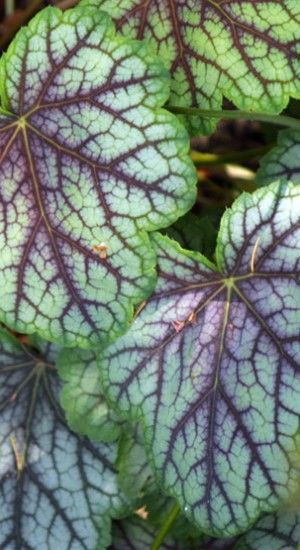 6 X Heuchera 'green Spice' - Purperklokje Pot 9x9cm