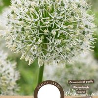 Allium - Mount Everest  - 1 stuks - Allium Stipitatum