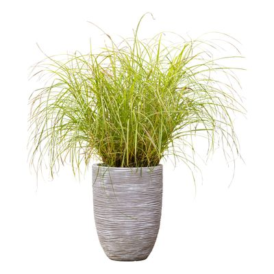 Prachtriet (Incl. Capi Pot) - Miscanthus Silberspinne