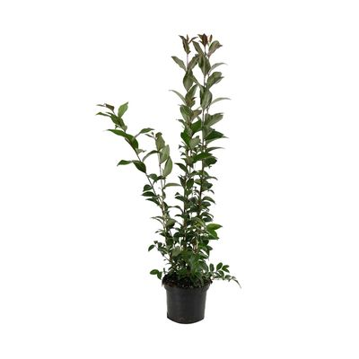Ligustrum Japonicum - Liguster 60-80 Cm In Pot