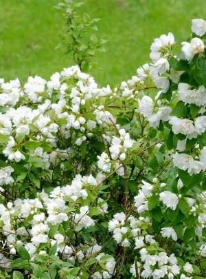 Philadelphus 'Lemoinei' - Boerenjasmijn 50-60 Cm In Pot
